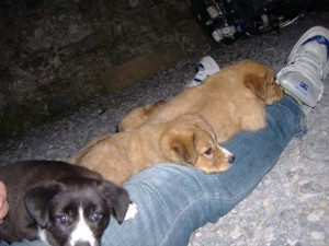 Puppies fast asleep on my lap